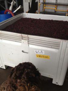 Oscar inspects the fronti ferment