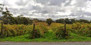 Yelp vineyard shot